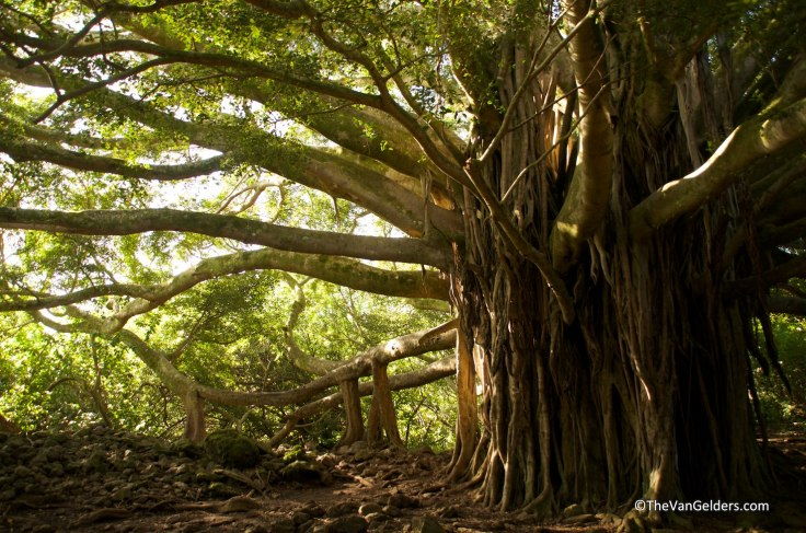 An amazing Banyan tree